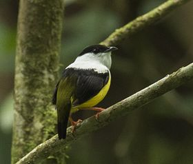 White-collared Manakin - Sarapiqui - Costa Rica MG 0596 (26585018422).jpg