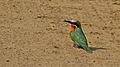White-fronted Bee-Eater (Merops bullockoides) (6032476153).jpg