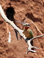 White-fronted Bee-eater, Merops bullockoides, at Ezemvelo Nature Reserve, near Bronkhorstspruit, South Africa (22586439586).jpg
