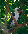 White-headed Pigeon (Columba leucomela) (9757365443).jpg
