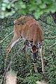 White-tailed Deer (Odocoileus virginianus) - Guelph, Ontario 03.jpg