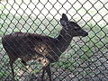 White-tailed deer (Odocoileus virginianus) at Jacksonville Zoo.jpg