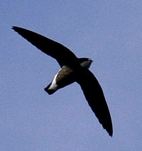 White-throated Needletail 09a