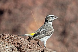 White-throated canary (Crithagra albogularis crocopygia).jpg