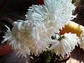 White Chrysanthemums 2016.jpg