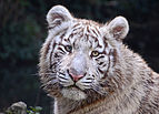 White Tiger in Touroparc.jpg