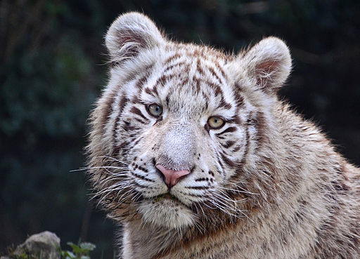 White Tiger in Touroparc