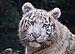 White Tiger in Touroparc.jpg