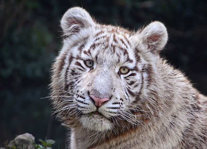 File:White Tiger in Touroparc.jpg