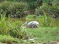 White hippopotamus.JPG