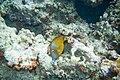 Whitespotted filefish Cantherhines macrocerus orange phase (3471717629).jpg