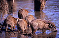 Wild Boars (Sus scrofa cristatus) (20132920710).jpg