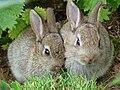 Wild Rabbits at Edinburgh Zoo.jpg