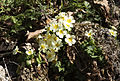 Wild primroses - Yabani Çuha çiçeği 02.jpg