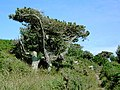 Windswept Pine near Juliet's Garden, St Mary's Scilly - geograph.org.uk - 1592299.jpg