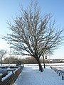 Winter tree in Selborne Avenue - geograph.org.uk - 1655458.jpg