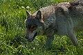 Wolf (3562144775).jpg
