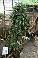Wollemia nobilis PAN tree.jpg