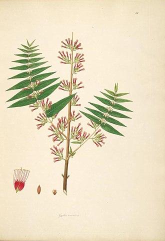 Woodfordia fruticosa - Woodfordia fruticosa, illustration