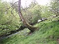 Woodland near the Birches - geograph.org.uk - 179571.jpg