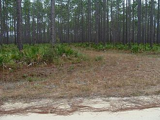 Serenoa - Saw palmettos beneath the larger evergreen canopy in the Apalachicola National Forest in Florida