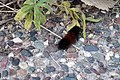 Woolly Bear Caterpillar (37082158724).jpg