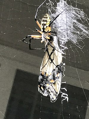 Argiope (spider) - Writing spider eating a swallowtail butterfly in Holly Springs, North Carolina