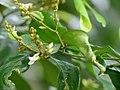 Xanthophyllum flavescens 136220411.jpg