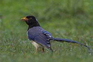 Yellow-billed blue magpie - From Chopta, Uttarakhand, India
