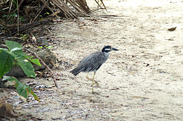 Yellow-crowned Night-heron3.jpg