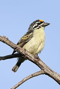 Yellow-fronted tinkerbird, Pogoniulus chrysoconus, at Walter Sisulu National Botanical Garden, South Africa (15819114098).jpg
