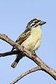 Yellow-fronted tinkerbird, Pogoniulus chrysoconus, at Walter Sisulu National Botanical Garden, South Africa (15819114098).jpg