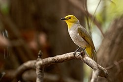 Yellow-throated Bulbul.jpg