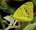 Yellow Orange Tip (Ixias pyrene) in Hyderabad W IMG 9528.jpg