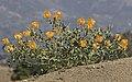 Yellow horned poppies - Glaucium sp 16.jpg