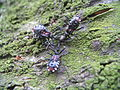 YokozunaAssassinBugs SuckTargetUnderBark01.JPG