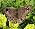 Ypthima baldus - Common Five-ring 05.JPG