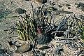 Yucca endlichiana fh 0334 Echinocactus horizonthalonius fh 0805 MEX B.jpg