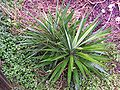 Yucca growing on side of compost pile.JPG
