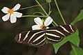 Zebra Longwing - Heliconius charithonia, Okaloacoochee Slough State Forest, Felda, Florida (32165957232).jpg
