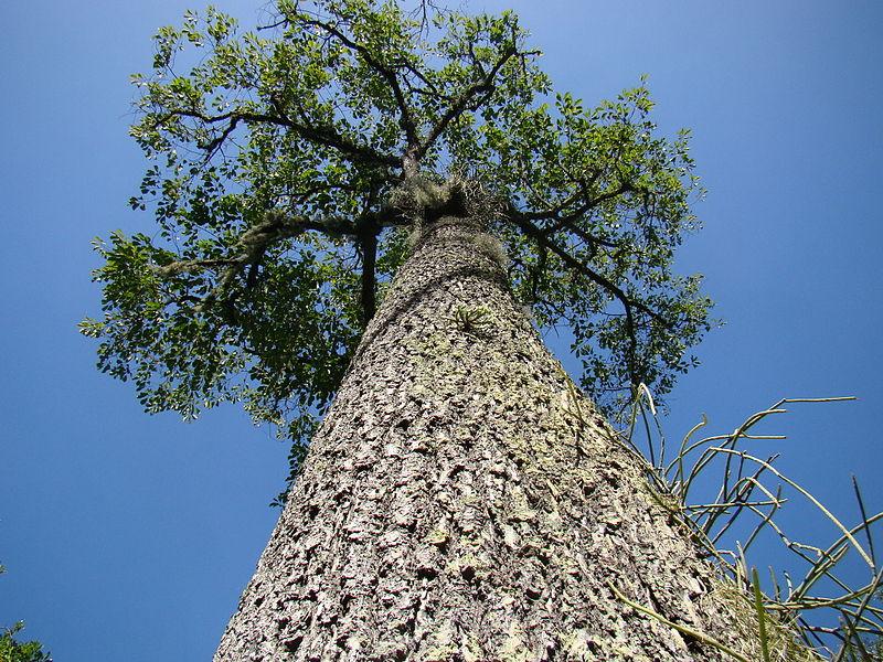 "File:""Bertholetia excelsa"" Castanha-do-Pará Brazil-nuts tree 2.jpg"