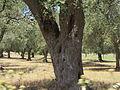 """ 12 - ITALY - Ulivo ( Olea europaea) Salento ( in Puglia - Apulia ) (ITALIA).JPG"