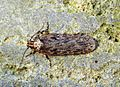 (0682) Depressaria chaerophylli - Flickr - Bennyboymothman.jpg