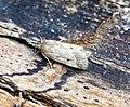 (1336) Eudonia pallida (19104539823).jpg