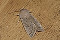 (2186) Powdered Quaker (Orthosia gracilis) (3443744107).jpg