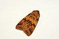 (2275) Dusky-lemon Sallow (Xanthia gilvago) (3931050500).jpg