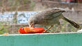 (Turdoides affinis) White headed babbler eating a Papaya slice 04.JPG