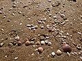 Κοχύλια στην ακτή του Κυπαρισιακού.jpg