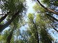 Балаковский лес.JPG