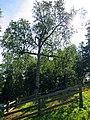 Береза-крест на месте массовых захоронений у подножия горы Голгофа.JPG